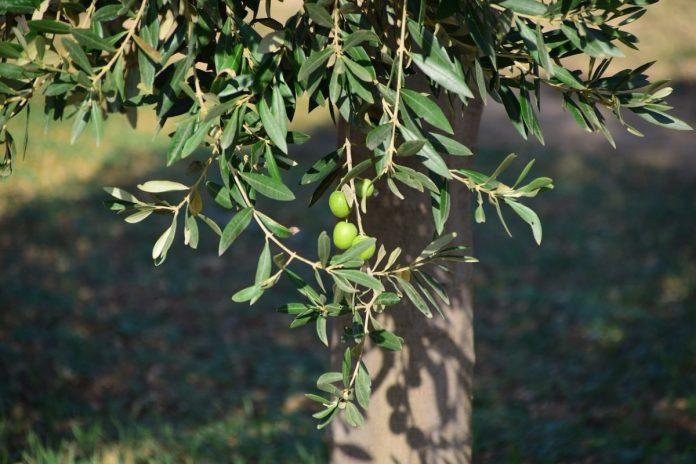 Planter un olivier La Baule Guérande Pornichet Saint Nazaire